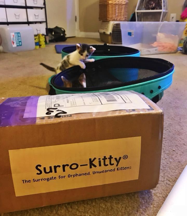 surro cat, surrogate cat, surrogate kitten mamma, cat mama, surro kitty